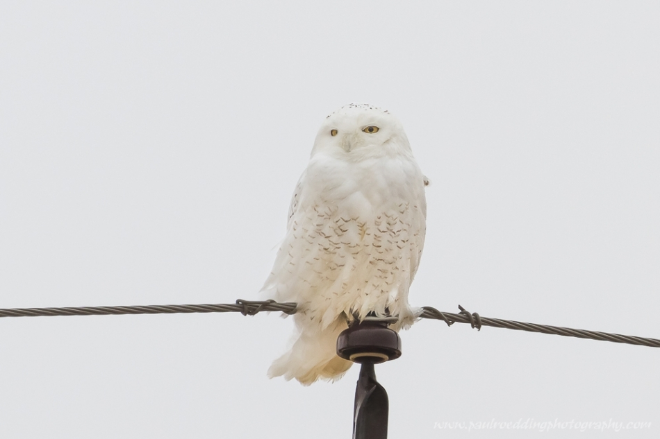 snowy-owl-paul-roedding